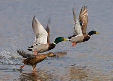 Wild ducks flying Stock Photos
