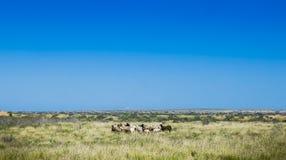 Wild Goats Australia Bush Stock Photos