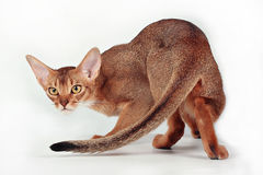 Wild ruddy abyssinian cat Stock Photography