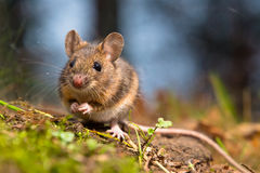 Wild wood mouse Royalty Free Stock Photos