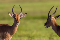 Wildlife Buck Males Animal Stock Images