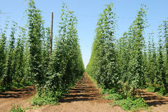 Willamette Hops Royalty Free Stock Images