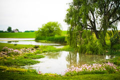 Willow by the Pond Royalty Free Stock Image