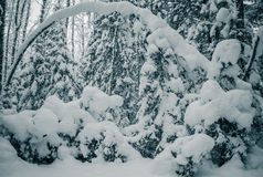 Winter wood. Trees covered by snow. Toning Stock Image