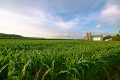 Wisconsin Dairy Farm, Barn by Field of Corn Royalty Free Stock Photo