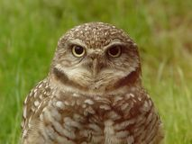 Wise Old Owl Stock Photography