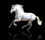 Wit paard op de zwarte Stock Afbeeldingen