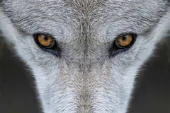 Wolf eyes Royalty Free Stock Photography