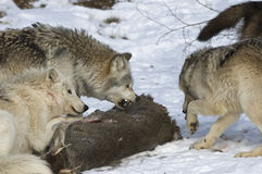 Wolf pack interaction Stock Photography