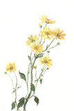 Yellow chrysanthemum flowers watercolor painting Stock Photos