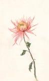 Yellow-pink chrysanthemum watercolor painting. Stock Photo