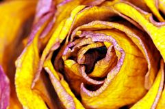 Yellow Rose - gelbe Rose Stock Photography