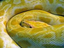 Yellow snake Royalty Free Stock Photos