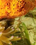 Yellowline pilkrabba mellan svampen och anemonen Arkivbild