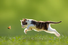 Young cat hunting butterfly Royalty Free Stock Photos
