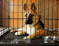 Young German Shepherd in crate Royalty Free Stock Images
