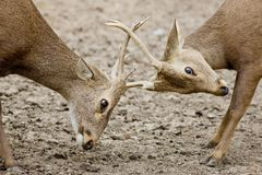 Young Red Deer males rutting Royalty Free Stock Photo