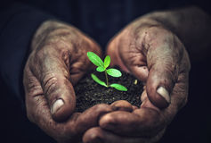 Young sprout plants in old dirty hands, concept Stock Photos