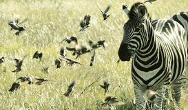 Zebra amidst small Flying Birds, Kruger National Park South Africa Stock Photo