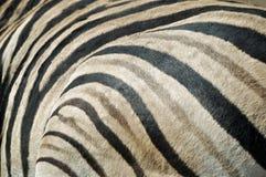 Zebra fur texture Royalty Free Stock Image