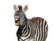 Zebra Laugh or Shout Stock Images