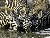 Zebras at the Water Hole, Tanzania Royalty Free Stock Photo