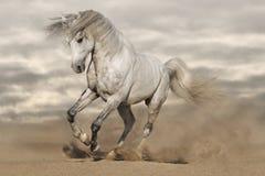 Zilveren grijs paard in woestijn Stock Afbeeldingen