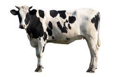 Zwart-witte Koe Stock Foto