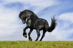 Zwarte paardlooppas Stock Foto