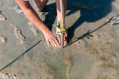 Zwei Hände des Freiwilligen mach's gut und pflanzen ein junges grünes mangr Stockbild