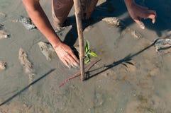 Zwei Hände des Freiwilligen mach's gut und pflanzen ein junges grünes mangr Stockbilder