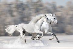 Zwei weiße Pferde in Winterlack-läufer Galopp Stockbilder